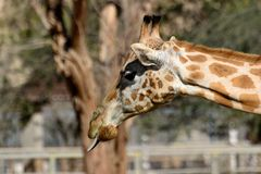 Giraffe sticking out tounge Royalty Free Stock Photos