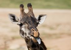 Giraffe sticking it`s tongue out. Head shot of a giraffe sticking it`s tongue out and eating Royalty Free Stock Image