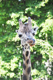 Giraffe sticking tongue Stock Photography