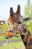 Giraffe sticking tongue Royalty Free Stock Photography