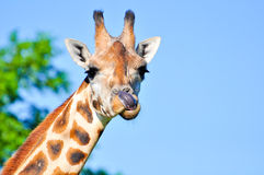 A giraffe sticks its out tongue out at you Stock Photos