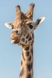 A giraffe sticks its tongue out at me Stock Photo