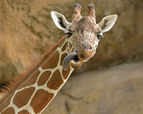 Giraffe sticks its tongue out Stock Photo