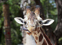 A Giraffe Sticks Out its Long Tongue Stock Photo