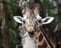 A Giraffe Sticks Out its Long Tongue Royalty Free Stock Image
