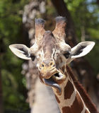 A Giraffe Sticks Out its Tongue Royalty Free Stock Images
