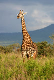 Giraffe and a Stormy Sky royalty free stock image