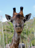 Giraffe with Straight Face stock images