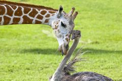 Giraffe and Strauss Stock Images