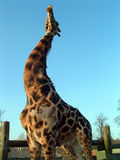 Giraffe Stretching. An adult giraffe stood up and stretching its neck, tilting its head back royalty free stock photo