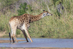Giraffe stretching his neck out to swallow water from river Stock Photos