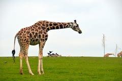 Giraffe strolling in the grass Stock Photo