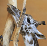 Giraffe stuck in a tree. Stock Image