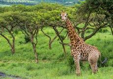 Giraffe. A stunning wildlife paradise with great scenery stock photo