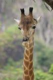 Giraffe-Stutzen u Stockfoto