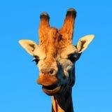 Giraffe-Stutzen u Stockbild