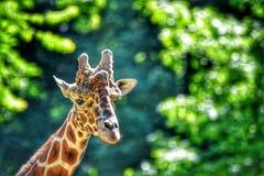 Giraffe-Stutzen u lizenzfreie stockfotografie