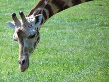 Giraffe. During the summer; Cape May County, New Jersey Royalty Free Stock Images