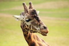 Giraffe in the sun Royalty Free Stock Photography