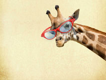 Giraffe with Sunglassess Royalty Free Stock Photography