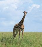 Giraffe in sunny ambiance Royalty Free Stock Images