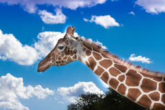 Giraffe on sunny day. Reticulated giraffe with blue sky and light cloud background Royalty Free Stock Photography