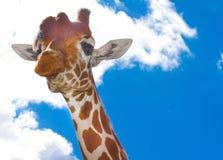 Giraffe on sunny day. Giraffe portrait on bright sunny day Royalty Free Stock Photo