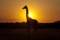 Giraffe at sunrise stock images