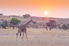 Giraffe at Sunrise. A giraffe at sunrise in the dry Auob River valley, in the Kgalagadi Transfrontier Park, situated in the Kalahari Desert which straddles South Stock Photos