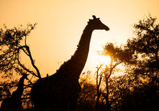 Giraffe at sunrise Royalty Free Stock Photos