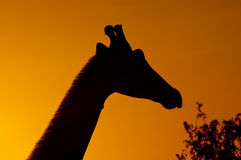 Giraffe sunset. Long neck of giraffe grazing silhoutted against african dawn royalty free stock photos