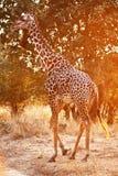 Giraffe at sunset Stock Photo