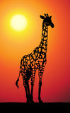 Giraffe at sunset Stock Image