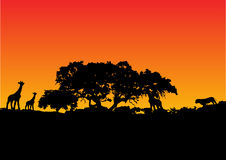 Giraffe with sunset background Royalty Free Stock Image