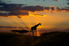 Giraffe on the sunset background Royalty Free Stock Photography