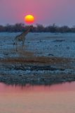 Giraffe at sunset in Etosha NP Stock Photos