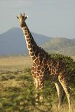Giraffe in sunset light at Lewa Conservancy, Kenya, Africa Stock Photography