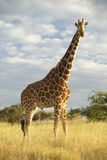 Giraffe in sunset light at Lewa Conservancy, Kenya, Africa Stock Photo