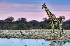 Giraffe at sunset Stock Photography