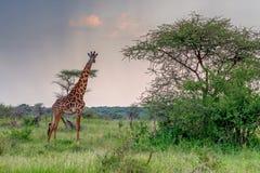 Giraffe in sunset savanna Stock Photography