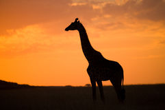 Giraffe at sunset in the savannah. Kenya. Tanzania. East Africa. An excellent illustration stock image