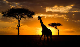 Giraffe at sunset in the savannah. Kenya. Tanzania. East Africa. An excellent illustration royalty free stock photography