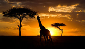 Giraffe at sunset in the savannah. Kenya. Tanzania. East Africa. An excellent illustration stock images