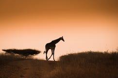 Giraffe on the sunset  sky background Stock Photos