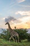 Giraffe Sunset. A giraffe taking a stroll on the African Landscape Royalty Free Stock Photography