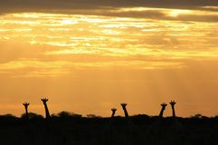 Giraffe Sunset - Wildlife Background from Africa - Nature's Pairs Royalty Free Stock Photos