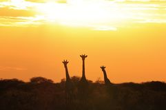 Giraffe Sunset - Wildlife Background from Africa - Wonders of the Wild Stock Images
