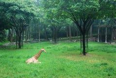 Giraffe sur des broussailles Image stock