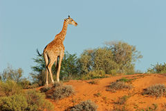Giraffe sur la dune Photos stock
