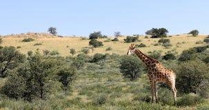 Giraffe sveglie, fauna selvatica del Sudafrica video d archivio